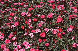 SunPatiens® Compact Deep Rose New Guinea Impatiens (Impatiens 'SunPatiens Compact Deep Rose') at All Seasons Nursery