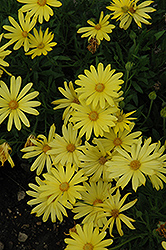 Voltage™ Yellow African Daisy (Osteospermum 'Voltage Yellow') at All Seasons Nursery