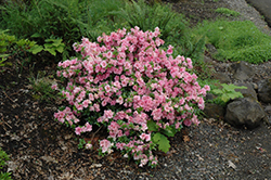 Gumpo Pink Azalea (Rhododendron 'Gumpo Pink') at All Seasons Nursery
