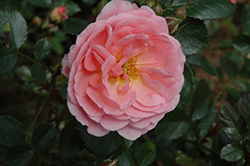 Apricot Drift® Rose (Rosa 'Meimirrote') at All Seasons Nursery