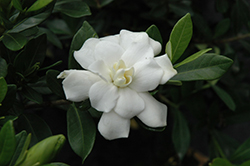 Double Mint Gardenia (Gardenia jasminoides 'Double Mint') at All Seasons Nursery