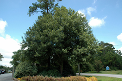 Southern Live Oak (Quercus virginiana) at All Seasons Nursery