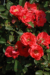 Coral Drift® Rose (Rosa 'Meidrifora') at All Seasons Nursery