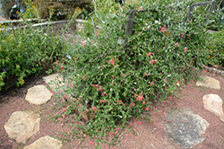 Trumpet Honeysuckle (Lonicera sempervirens) at All Seasons Nursery