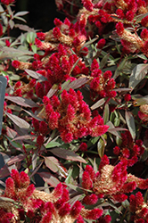 Intenz Lipstick Celosia (Celosia 'Intenz Lipstick') at All Seasons Nursery