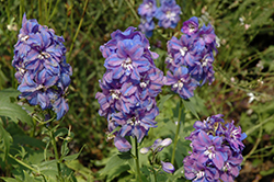 Guardian Blue Larkspur (Delphinium 'Guardian Blue') at All Seasons Nursery