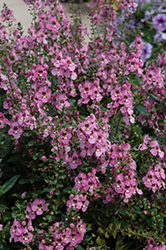 Archangel™ Orchid Pink Angelonia (Angelonia angustifolia 'Archangel Orchid Pink') at All Seasons Nursery