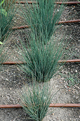 Blue Dart Rush (Juncus tenuis 'Blue Dart') at All Seasons Nursery