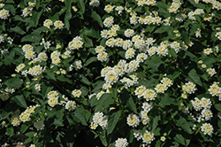 Lucky™ White Lantana (Lantana camara 'Lucky White') at All Seasons Nursery