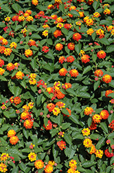 Lucky™ Flame Lantana (Lantana camara 'Lucky Flame') at All Seasons Nursery