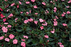 SunPatiens® Spreading Shell Pink New Guinea Impatiens (Impatiens 'SunPatiens Spreading Shell Pink') at All Seasons Nursery
