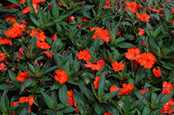 SunPatiens® Spreading Clear Orange New Guinea Impatiens (Impatiens 'SunPatiens Spreading Clear Orange') at All Seasons Nursery