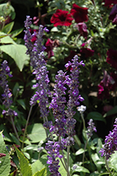 Sallyfun Blue Emotion Salvia (Salvia farinacea 'Sallyfun Blue Emotion') at All Seasons Nursery