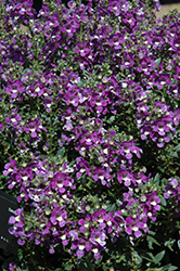Alonia Big Violet Angelonia (Angelonia angustifolia 'Alonia Big Violet') at All Seasons Nursery