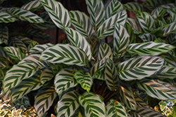 Peacock Plant (Calathea makoyana) at All Seasons Nursery