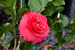 Rose Dawn Camellia (Camellia japonica 'Rose Dawn') at All Seasons Nursery