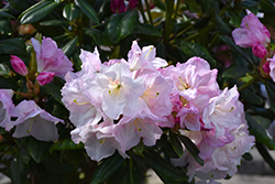 Southgate® Breeze™ Rhododendron (Rhododendron 'Janet Blair') at All Seasons Nursery