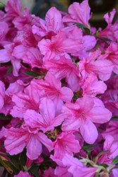 Southern Charm Azalea (Rhododendron 'Southern Charm') at All Seasons Nursery