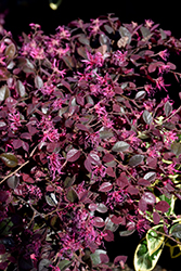Crimson Fire™ Chinese Fringeflower (Loropetalum chinense 'PIILC-I') at All Seasons Nursery
