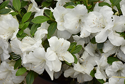 Encore® Autumn Ivory™ Azalea (Rhododendron 'Roblev') at All Seasons Nursery
