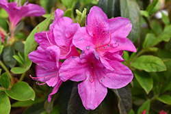 Bloom-A-Thon® Lavender Azalea (Rhododendron 'RLH1-4P19') at All Seasons Nursery