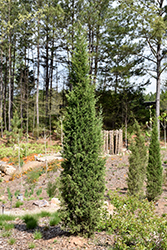 Taylor Redcedar (Juniperus virginiana 'Taylor') at All Seasons Nursery