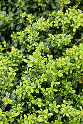 Soft Touch Japanese Holly (Ilex crenata 'Soft Touch') at All Seasons Nursery