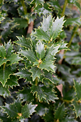 Acadiana™ Holly (Ilex 'Magiana') at All Seasons Nursery