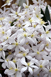 Apple Blossom Clematis (Clematis armandii 'Apple Blossom') at All Seasons Nursery