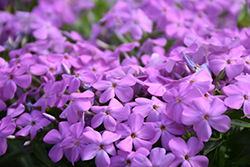 Forever Pink Garden Phlox (Phlox 'Forever Pink') at All Seasons Nursery
