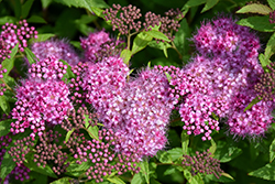 Anthony Waterer Spirea (Spiraea x bumalda 'Anthony Waterer') at All Seasons Nursery