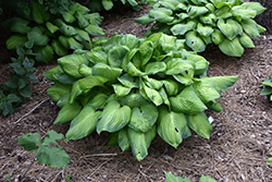 Guacamole Hosta (Hosta 'Guacamole') at All Seasons Nursery