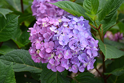 Bloomstruck® Hydrangea (Hydrangea macrophylla 'PIIHM-II') at All Seasons Nursery