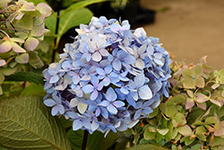 Blue Enchantress Hydrangea (Hydrangea macrophylla 'Monmar') at All Seasons Nursery