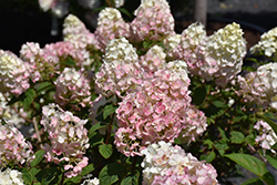 Strawberry Sundae® Hydrangea (Hydrangea paniculata 'Rensun') at All Seasons Nursery