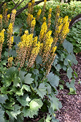 The Rocket Rayflower (Ligularia 'The Rocket') at All Seasons Nursery