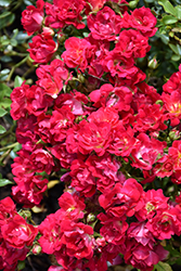 Red Drift® Rose (Rosa 'Meigalpio') at All Seasons Nursery