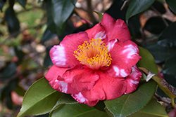 Reg Ragland Camellia (Camellia japonica 'Reg Ragland') at All Seasons Nursery