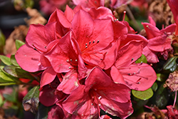 Encore® Autumn Bonfire™ Azalea (Rhododendron 'Autumn Bonfire') at All Seasons Nursery