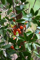 Scarlet's Peak Yaupon Holly (Ilex vomitoria 'Scarlet's Peak') at All Seasons Nursery