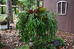 Staghorn Fern (Platycerium bifurcatum) at All Seasons Nursery