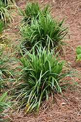 Emerald Goddess® Lily Turf (Liriope muscari 'Love Potion No. 13') at All Seasons Nursery