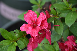 ReBloom™ Red Magnificence™ Azalea (Rhododendron 'RLH1-10P18') at All Seasons Nursery