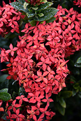 Flame of the Woods (Ixora coccinea) at All Seasons Nursery