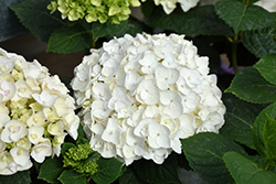 Blushing Bride® Hydrangea (Hydrangea macrophylla 'Blushing Bride') at All Seasons Nursery