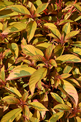 Lime Sizzler™ Firebush (Hamelia patens 'Grelmsiz') at All Seasons Nursery