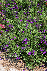 Mirage™ Deep Purple Autumn Sage (Salvia greggii 'Balmirdepur') at All Seasons Nursery