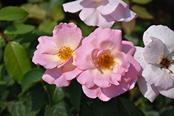 Peachy Knock Out® Rose (Rosa 'Peachy Knock Out') at All Seasons Nursery