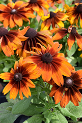 Autumn Colors Coneflower (Rudbeckia hirta 'Autumn Colors') at All Seasons Nursery