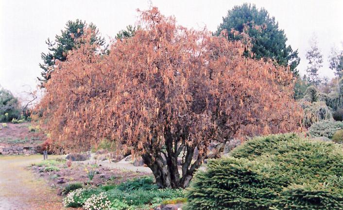 Harry Lauder's Walking Stick (Corylus avellana 'Contorta') at All Seasons Nursery